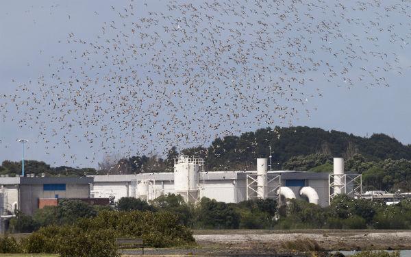 Godwits return to Watercare Coastal Walkway