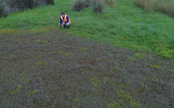 Rare plant discovered at Watercare Coastal Walkway